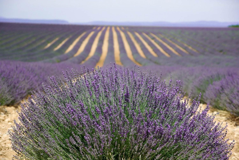 Lavendel Samen & Aussaat mehrjährig kaufen