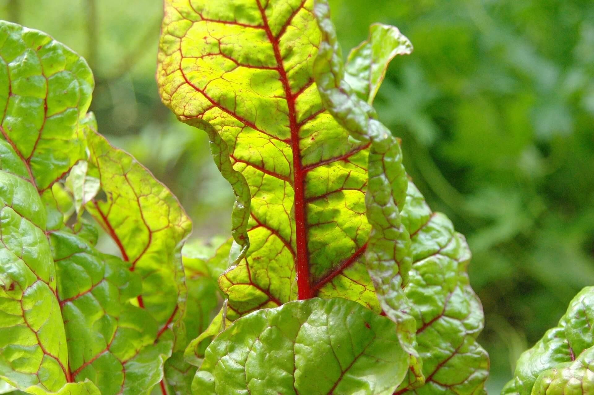 Gemeinsame Mangold-Samen & Aussaat zum Pflanzen kaufen   ab 0,89 € @DG_95