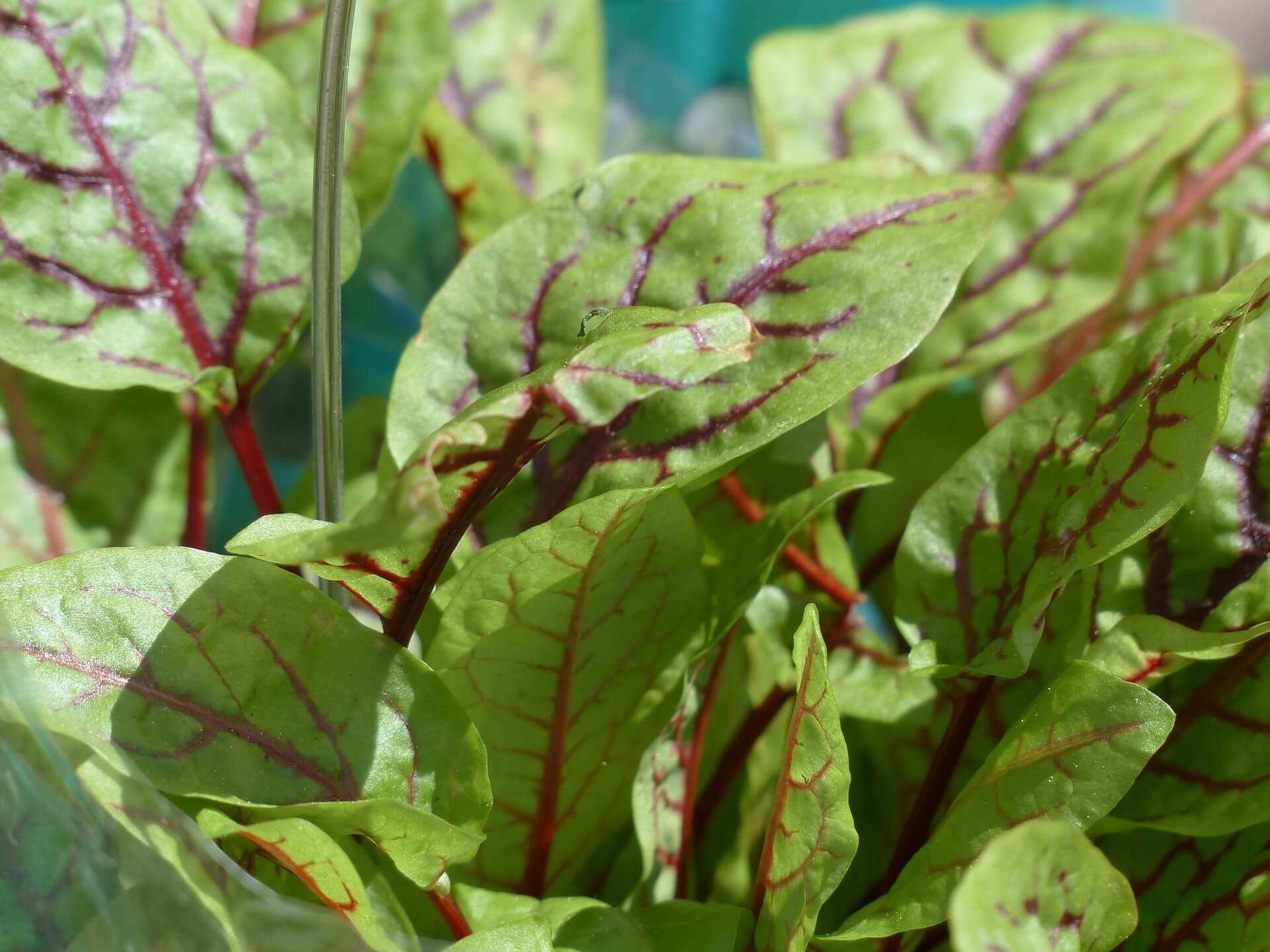 Sauerampfer Samen Zum Pflanzen Kaufen Schon Ab 0 89