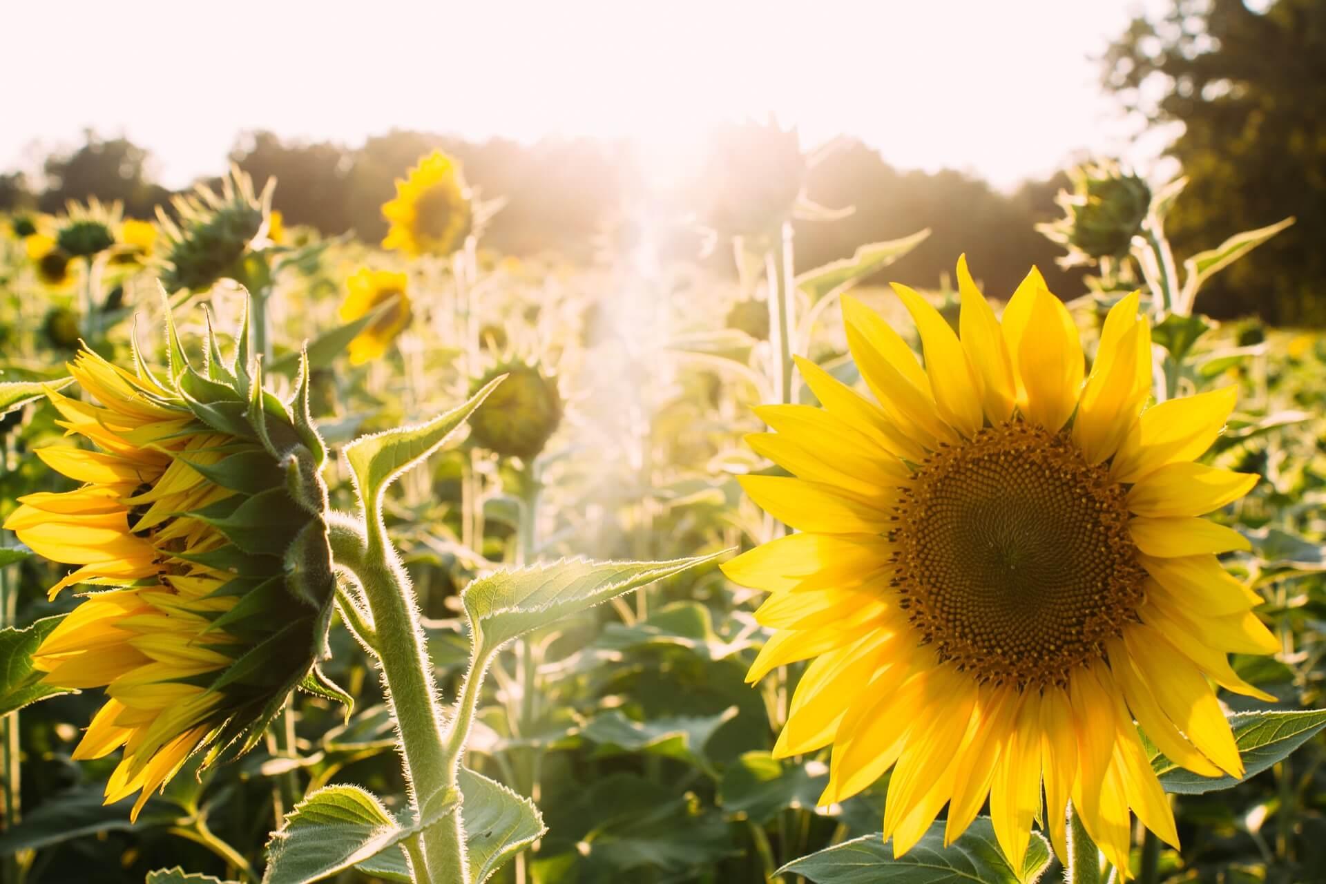 sonnenblumensamen zum pflanzen & säen kaufen | ab 0,89 €
